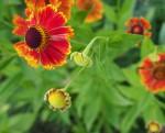 Летние фотографии, цветы Гелениум Миниатюра