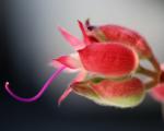 Какой бывает любовь, хищный цветок Велисавель Миниатюра