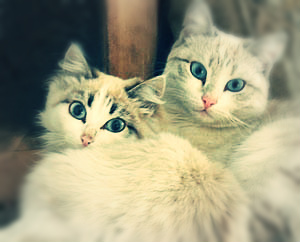 Две белых кошки с голубыми глазами Быть вместе