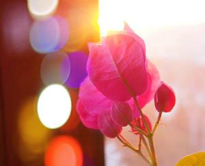 Бугенвиллия Цветок на солнце