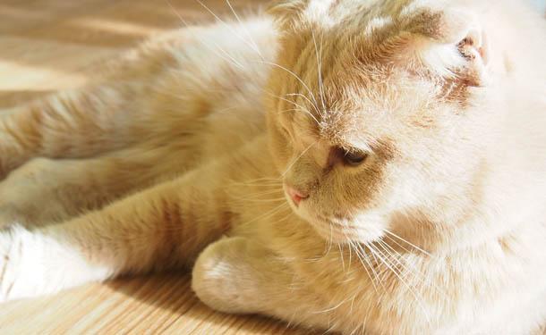 Буду кошкой Персиковый кот