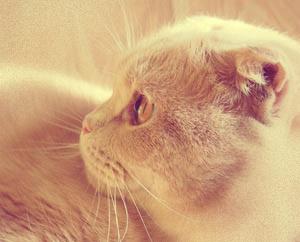 Персиковый персидский кот, Буду кошкой сидеть на твоем плече