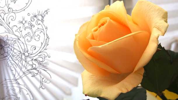 Не мешайте любить себя Кремовая роза