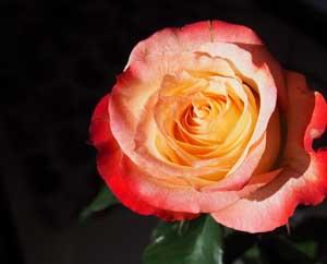 Желто-красная роза на черном фоне, Современные стихи о любви Миниатюра