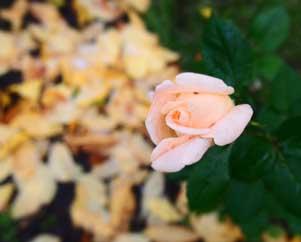 Бутон розы на фоне желтых листьев Хочется делать больно