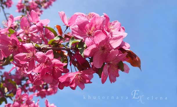 Отдых на природе летом Розовая яблоня