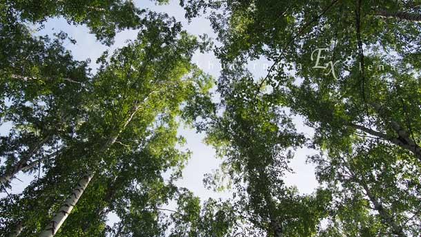 Отдых на природе летом Кроны берез в небе