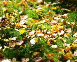 Как стать мудрее Желтые осенние листья на зеленой траве