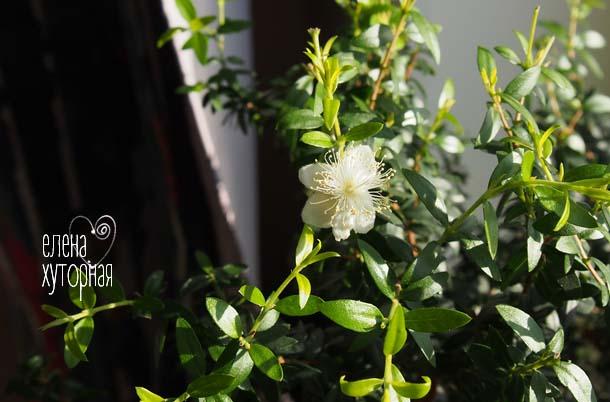 Цветущий мирт белые цветки